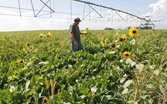 A farm worker in a field of genetically engineered beets near Longmont, Colorado